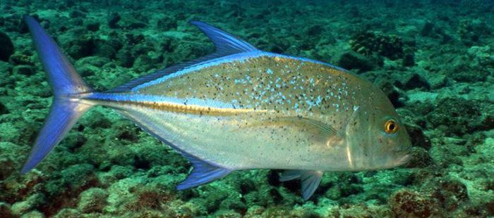 trevally-fish